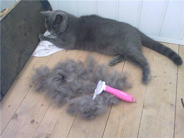 Результат вычёсывания британской кошки в период интенсивной линьки
