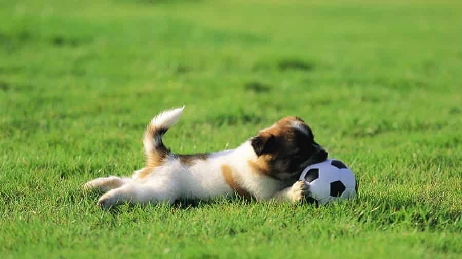 Маленький песик увлечен игрой в любимый мяч