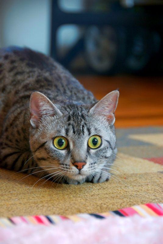 Кошка мау - великолепная охотница