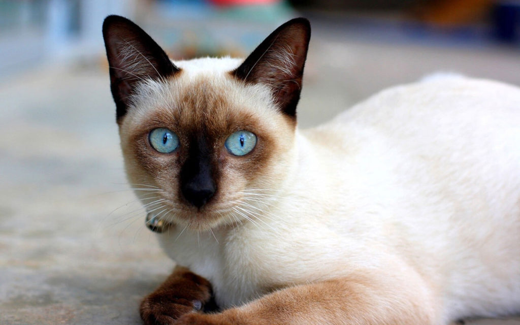 Миру стало известно о сиамских кошках лишь тогда, когда правитель Сиама разослал их в другие страны в качестве подарка