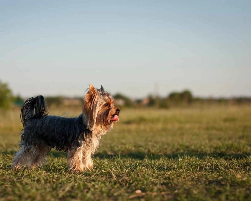 Многие собаки-компаньоны готовы обходится без прогулок вовсе