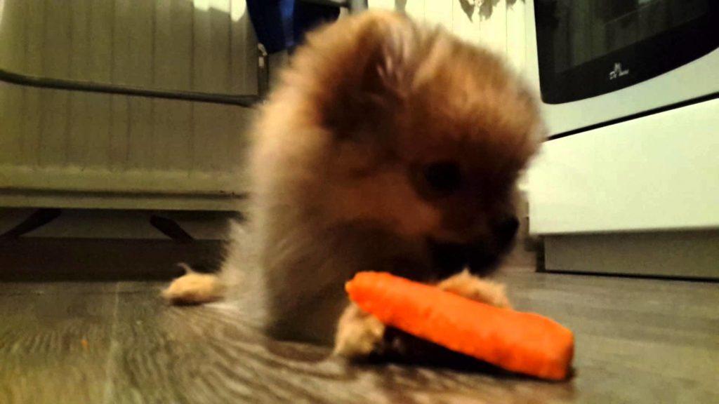 Многие шпицы с удовольствием едят сырую морковь