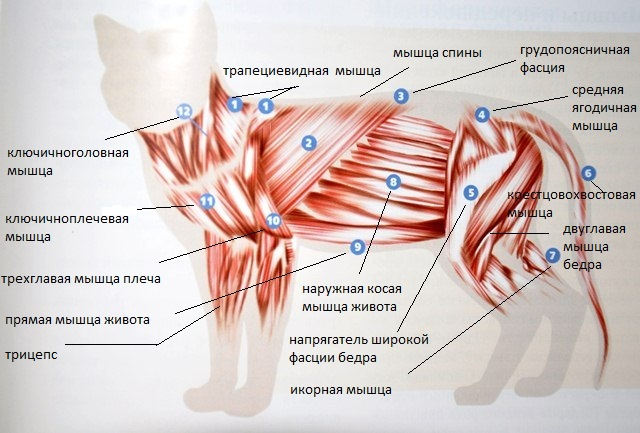 Мышечный скелет кошки