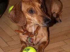 Мячик - великолепная игрушка для щенка таксы