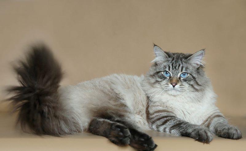 """Название """"маскарадная"""" закрепилось за этой кошкой из-за характерных затемнений в области морды"""