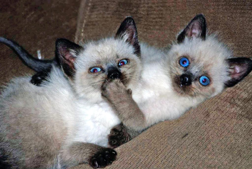 Смешные картинки котов сиамских, для открытки новый