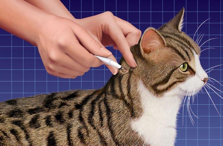 Нанесение антипаразитарных капель на холку кошки
