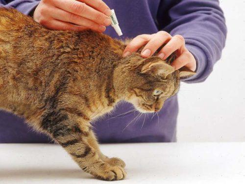 Нанесение препарата на холку кота
