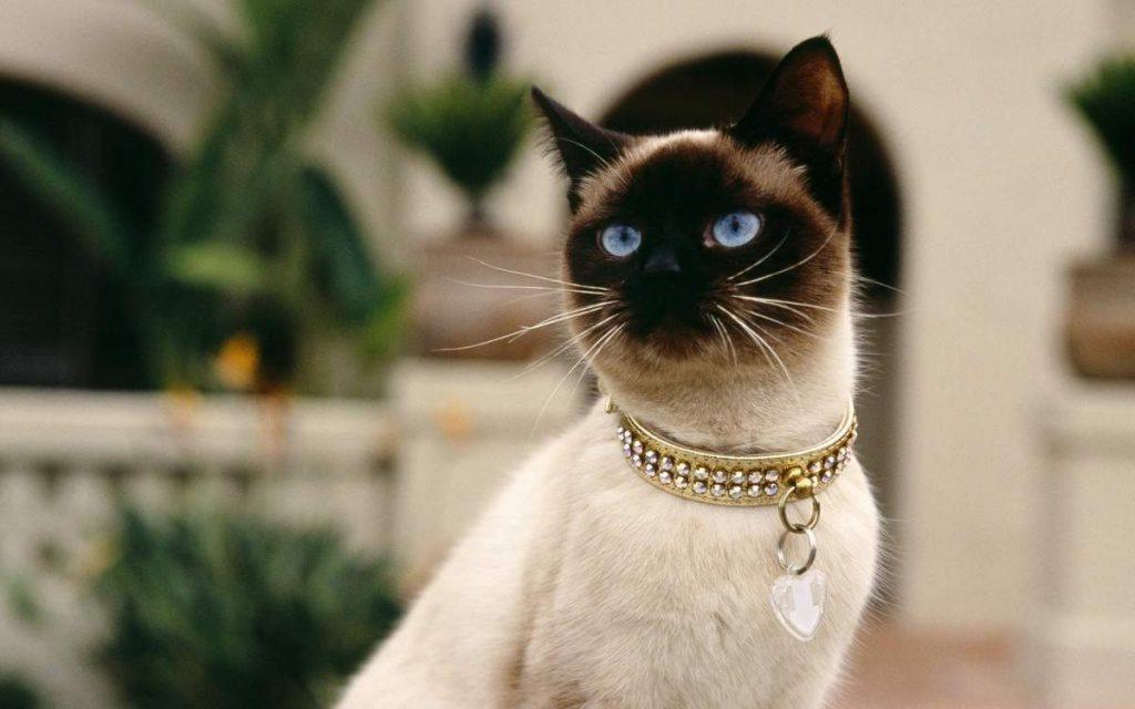 Начало современным выставкам сиамских кошек положила Королева Виктория