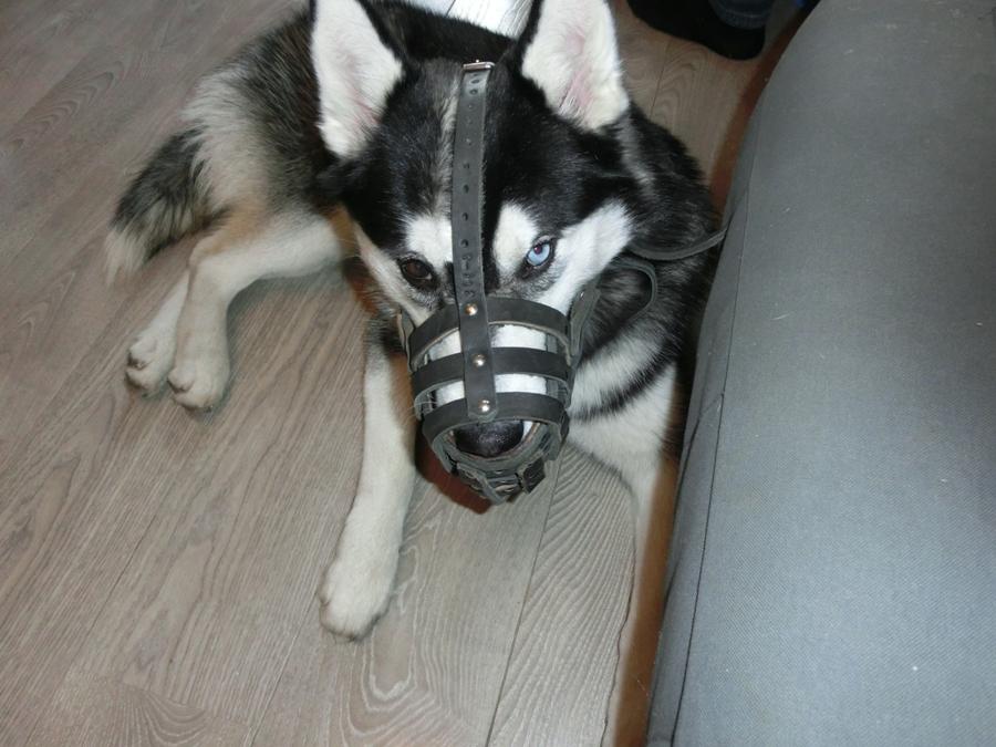 Начинать приучать собаку к наморднику лучше с пятимесячного возраста