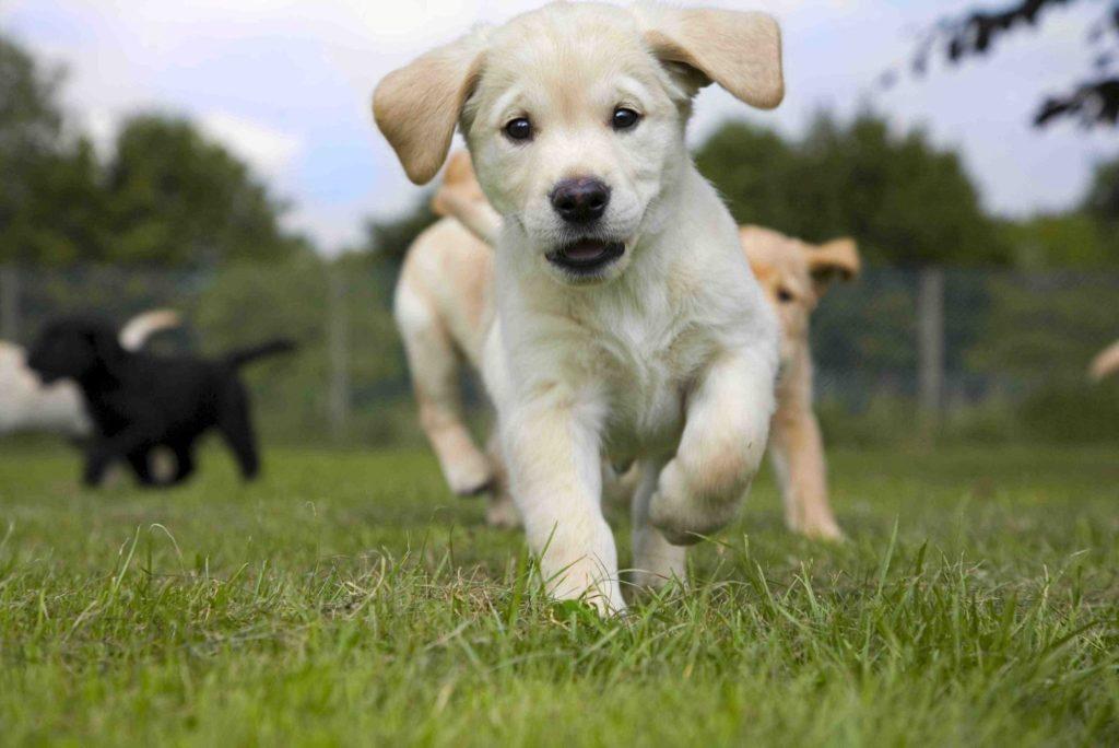 На дрессировочных курсах щенки могут обзавестись друзьями и научится самообладанию