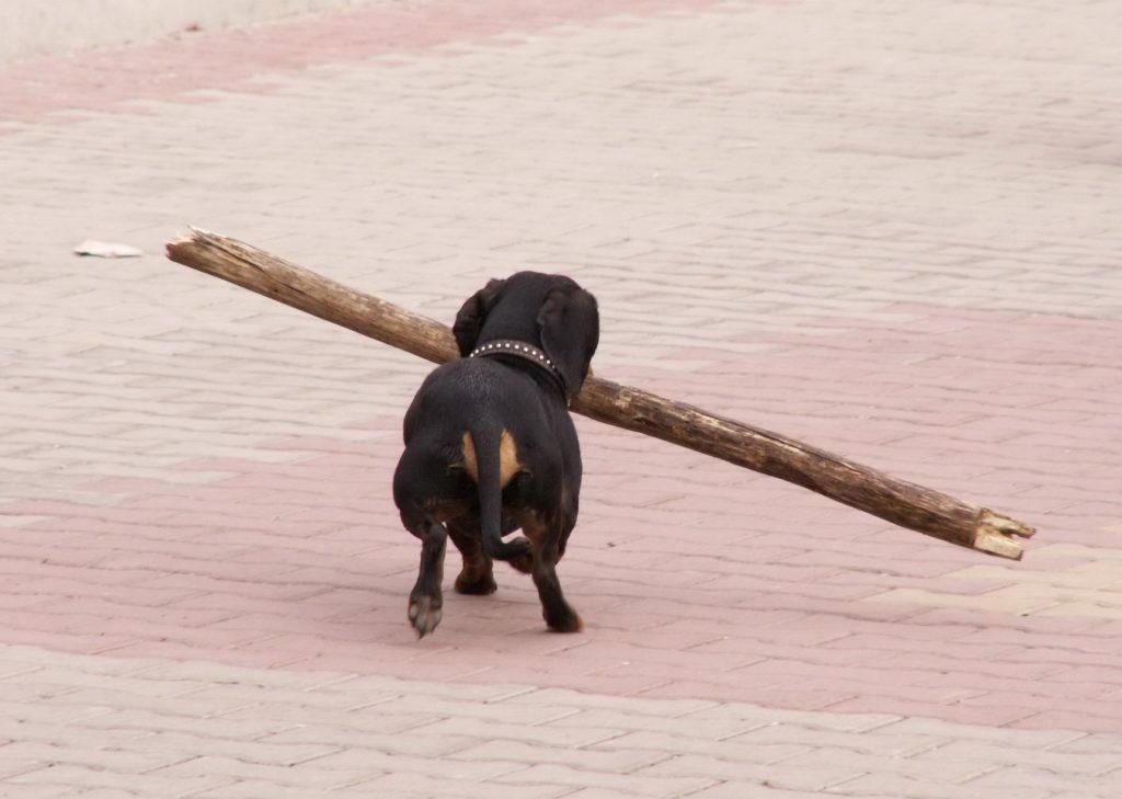 На прогулках такса может носить довольно тяжёлые палки
