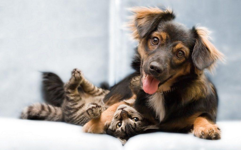 На складывание отношений кошки и собаки влияют их темпераменты и предыдущий опыт общения