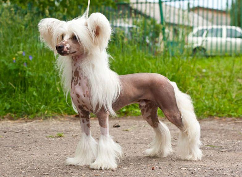 Некоторые участки тела собаки кажутся голыми, однако в действительности они покрыты очень тонкой шерстью