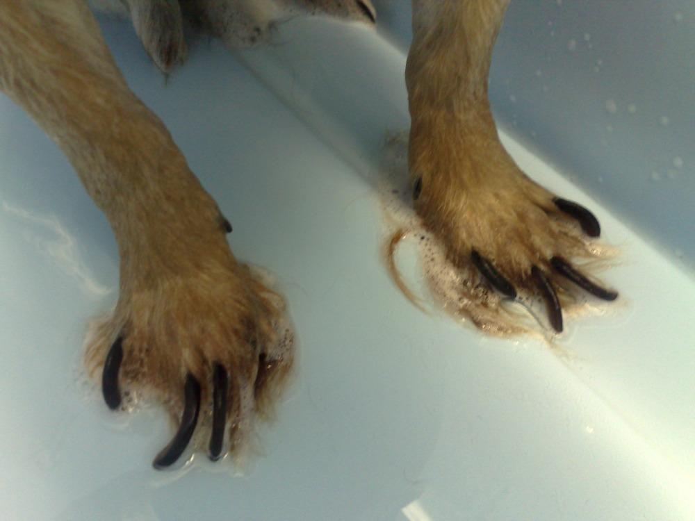 Некоторые хозяева предпочитают оставлять когти собаки в первозданном виде