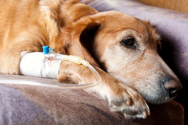 Нельзя колоть вакцину больным собакам