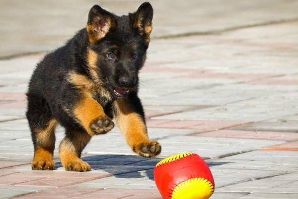 Немецкая овчарка - активная и жизнерадостная собака