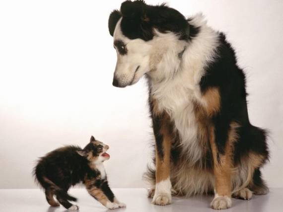 Слухи о нескончаемой вражде между кошками и собаками несколько преувеличены