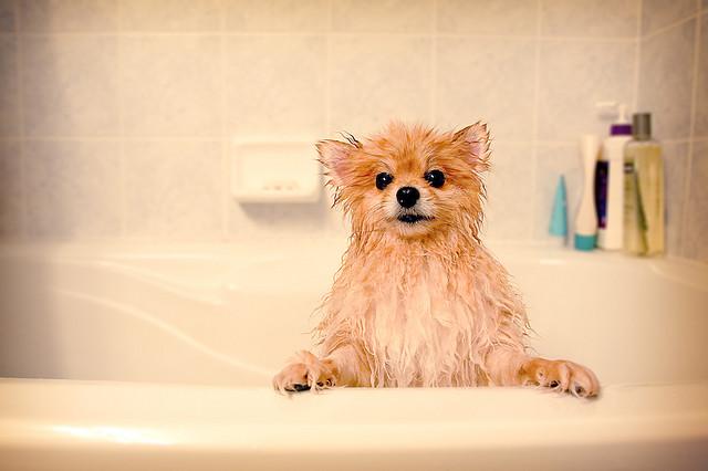 Несмотря на густую и пышную шерсть, частого мытья шпиц не требует