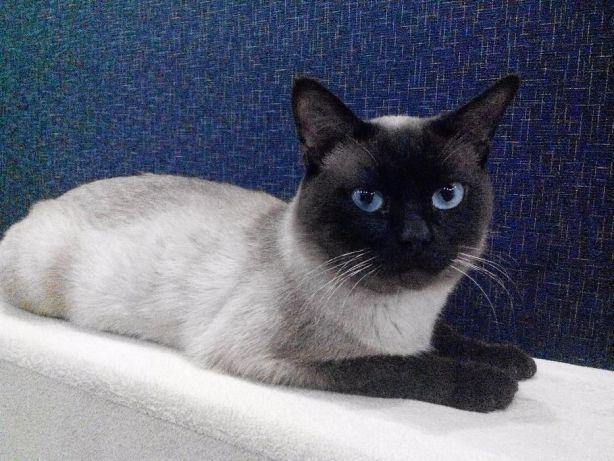 Несмотря на свою независимость, сиамские кошки испытывают потребность в близости с хозяином