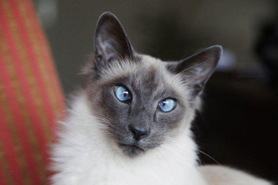 Несмотря на то, что косоглазие распространено среди балинезийцев, кошки с такой особенностью не принимают участия в выставках