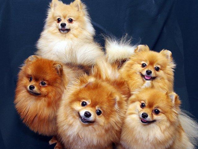 Несоциализированные шпицы будут видеть в незнакомых собаках и людях угрозу, что будет вызывать у них постоянный стресс
