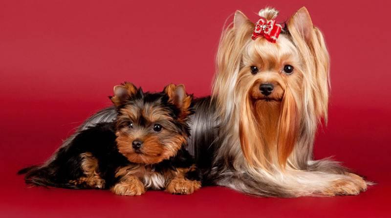 Неспособность декоративных собак выполнять традиционные собачьи функции компенсировалась их добродушием и открытостью