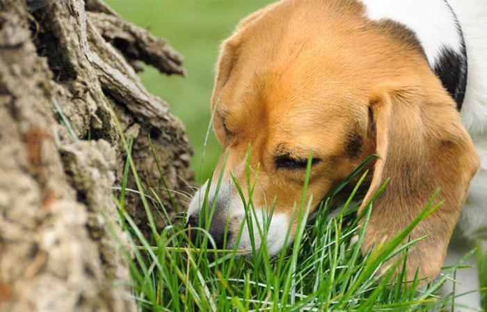 Неустойчивая психика собаки может влиять на ее поведение, вследствие чего собака может начать есть землю