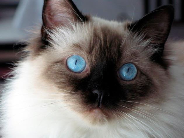 Нечастые выделения из глаз у балинезов являются нормой и устраняются тампонами, смоченными теплой водой