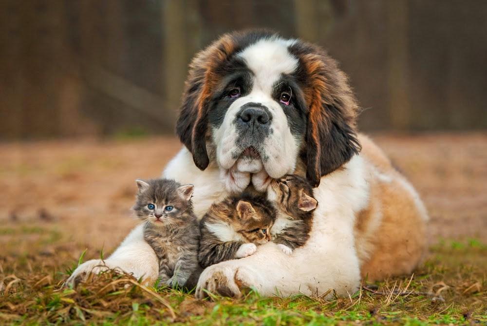 Не всегда между котенком и собакой мгновенно устанавливаются хорошие отношения
