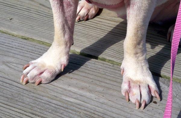 Не всем собакам удается стачивать когти о землю при прогулке