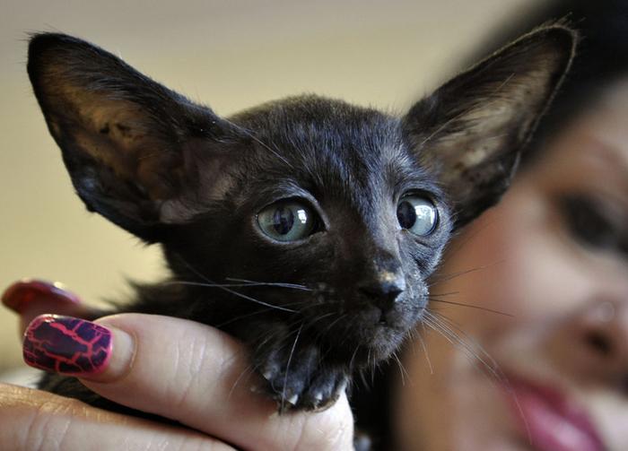 Не рекомендуется брать породистых котов с рук - полную информацию о животном вы получите только от заводчика