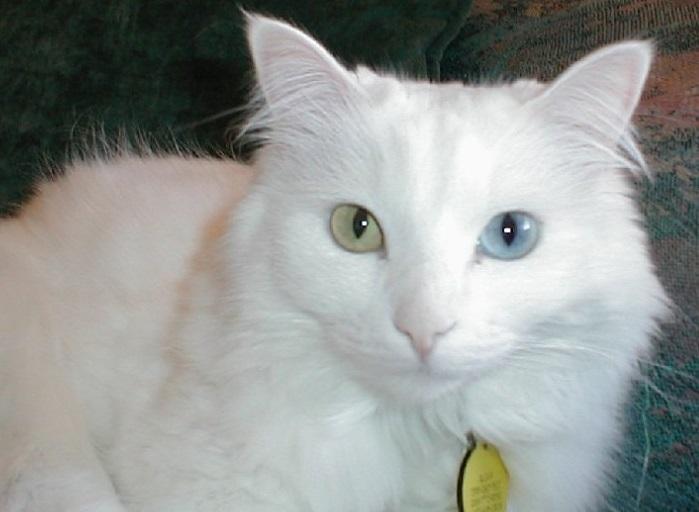 Носы белоснежных котов за зиму бледнеют настолько, что начинают сливаться с шерстью