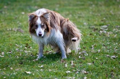 Но-шпа помогает справиться с циститом у собак