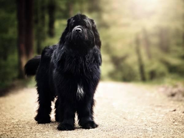 Ньюфаундленд - самая добрая собачья душа на свете