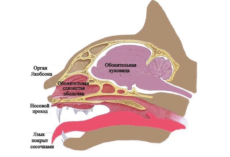 Обонятельная система кошки