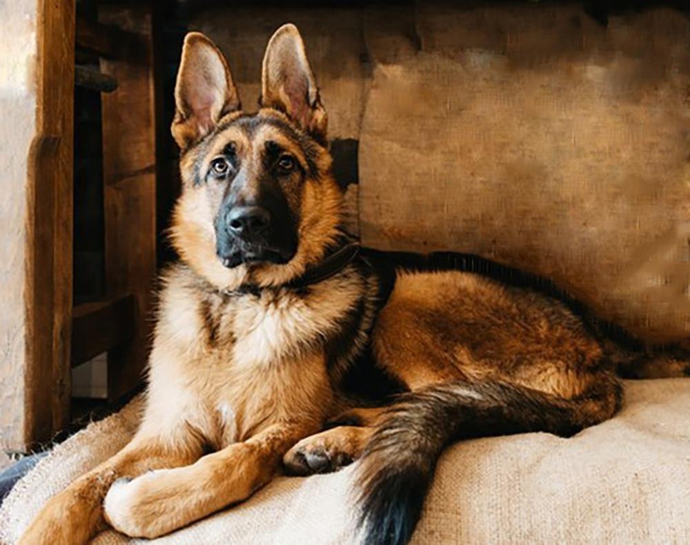 Лишь немногие знают, как поставить уши собаке