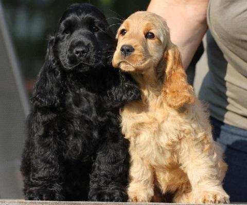 Одноцветные щенки английского кокер-спаниеля