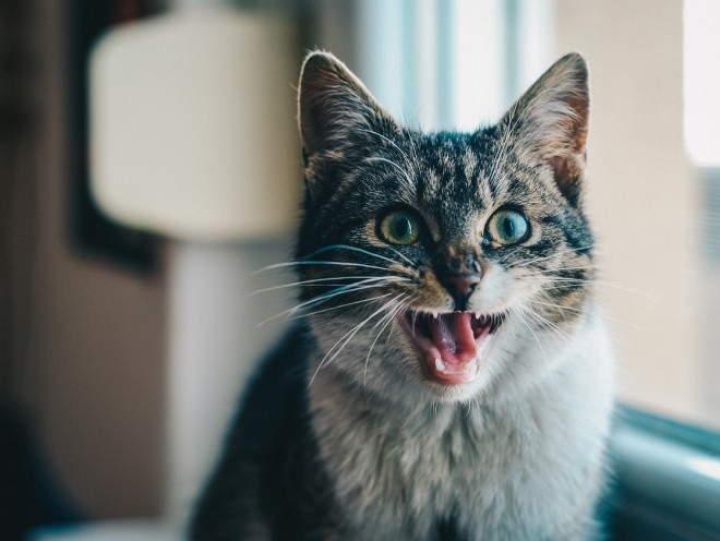 Одышка у кошки