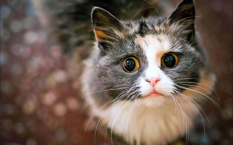 Окрас шерсти трехцветной кошки невозможно повторить дважды