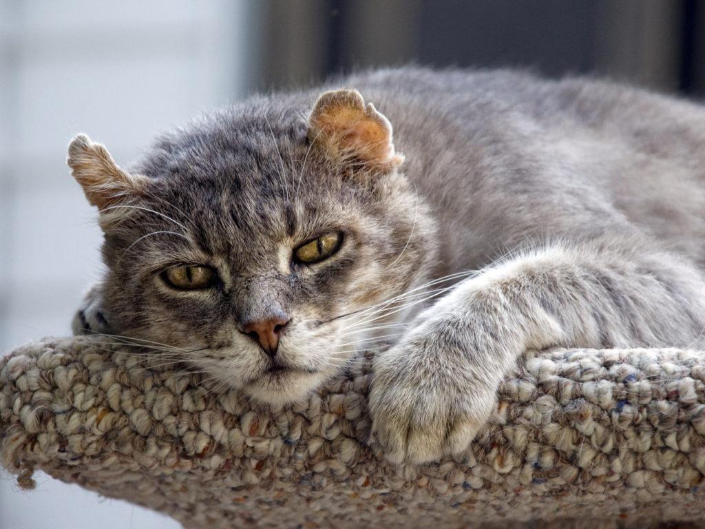 Опорно-двигательный аппарат пожилых котов не готов к большим нагрузкам, часто приносящим дискомфорт