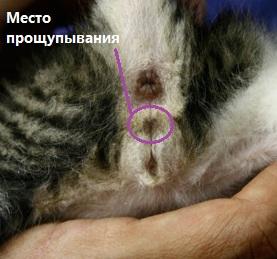 Определение пола котёнка метолом пальпации