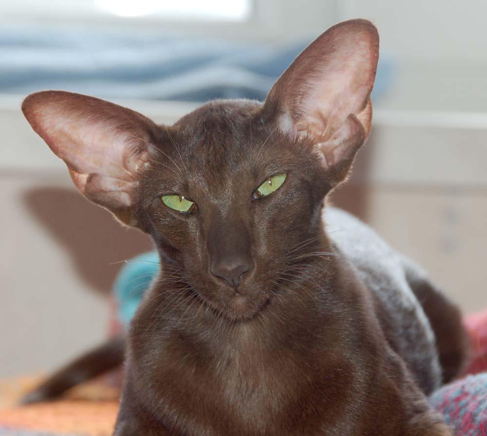 Ориентальные породы кошек более темпераментны
