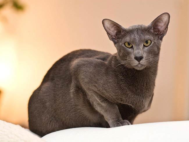 Ориентальские коты известны за счтет своего сложного характера