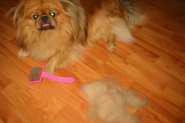 Основную опасность для аллергиков представляет собачья шерсть