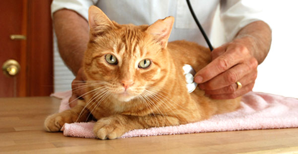 Острая форма цистита проявляет себя в первые часы и наносит серьезный урон здоровью кота