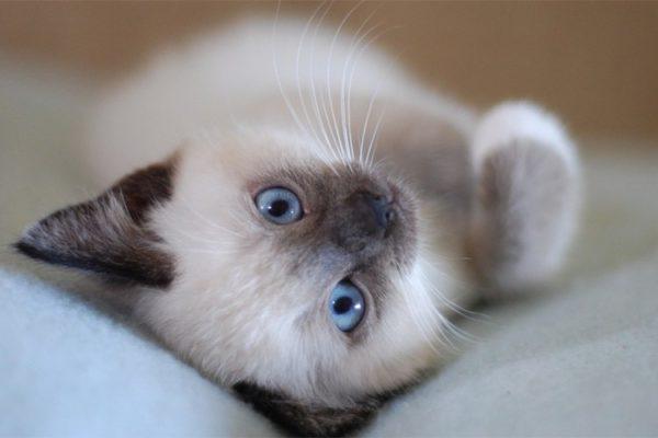 Отличить котят разных классов бывает очень сложно - характерные черты проявляются только с возрастом