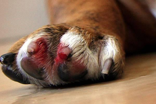 Отрастающие когти имеют тенденцию ломаться, оставляя на лапах собаки открытые раны