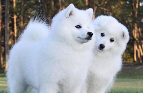 Оттенок шерсти собак может варьироваться