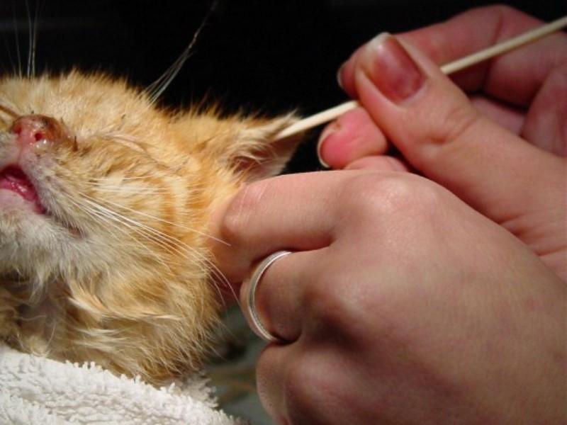 Очищение ушей котенка не должно сопровождаться использованием жестких материалов
